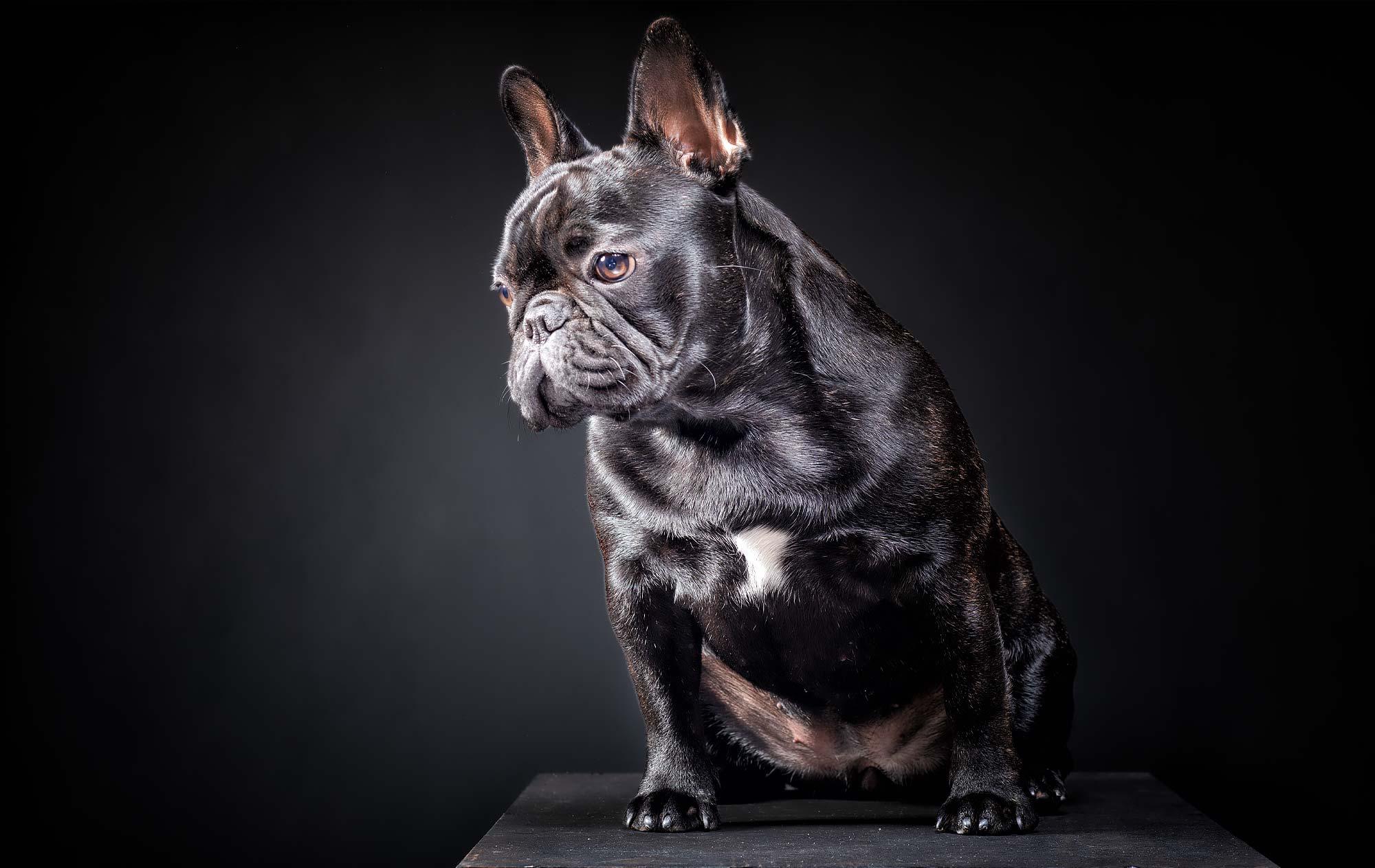 Fotografo Professionista Milano Ritratto bulldog francese