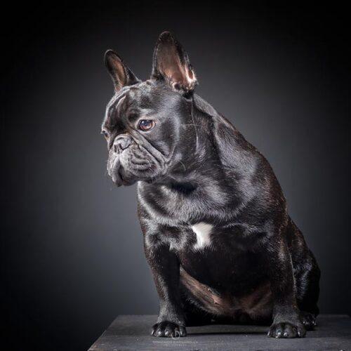 fotografo ritratti fotografici milano cane gatto buldog francese